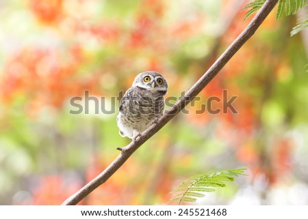 Bird,Spotted Owlet (Athene brama), standing on a branch - stock photo
