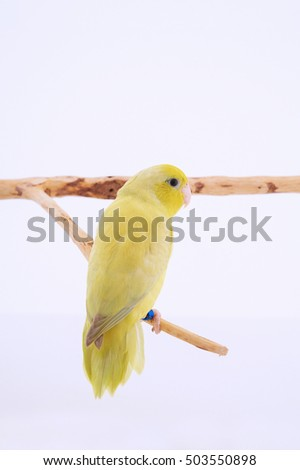Bird stand on the branch with white background.