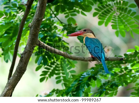 Bird, Stork-billed Kingfisher, Perched on Tree branch, green leaves, waiting patiently, copy space, out of focus background,