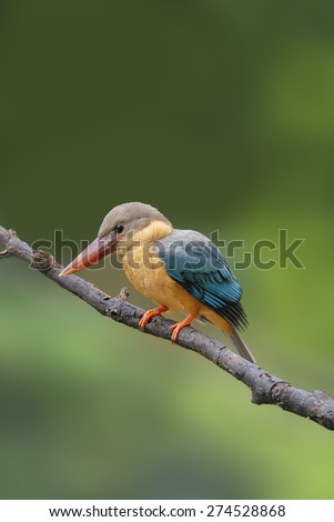 Bird (Stork-billed Kingfisher) perching on branch - stock photo