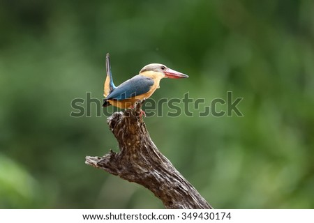 Bird (Stork-billed Kingfisher) , Thailand