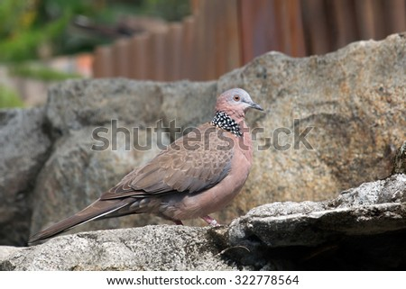 Turtle dove stock images royalty free images vectors shutterstock bird the turtle dove common stock dove is similar to but much slimmer sleeker pronofoot35fo Image collections