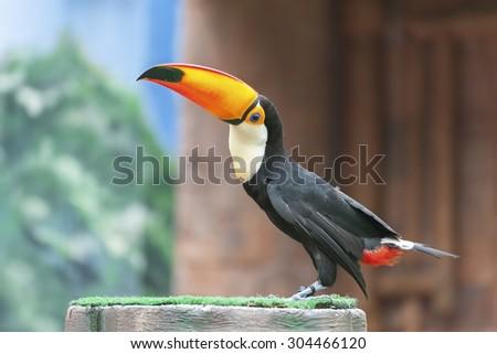 Bird Toucan (Ramphastos toco) - stock photo