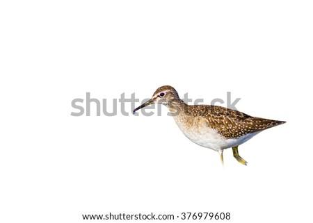 bird walking isolated on white Wood Sandpiper / Tringa glareola - stock photo