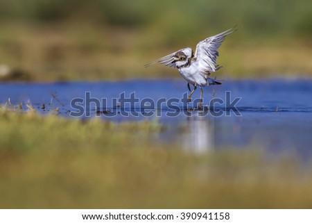 bird washing Little Ringed Plover / Charadrius dubius - stock photo