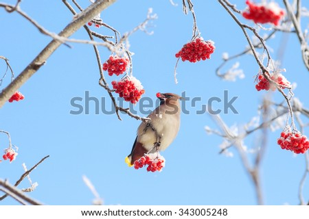 Bird waxwing eats frozen rowan on background of sky - stock photo