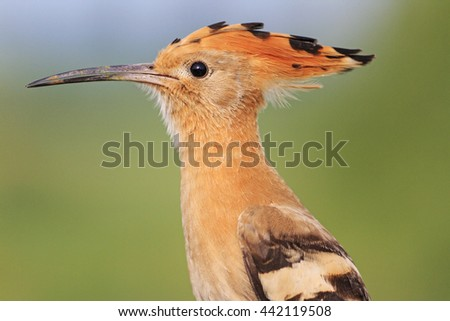 bird with a tufted - stock photo