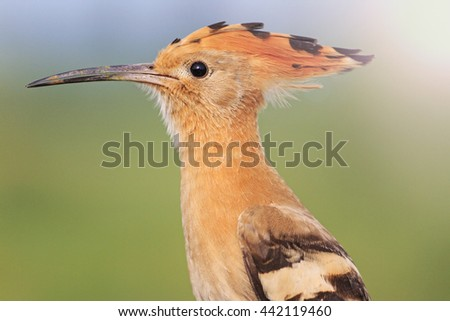 bird with a tufted  sunny hotspot - stock photo