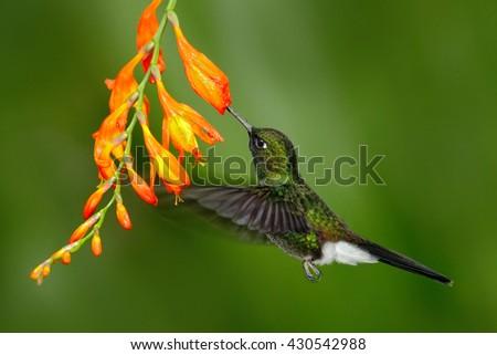 Bird with orange flower. Flying hummingbird. Hummingbird in fly. Action scene with hummingbird. Hummingbird Tourmaline Sunangel eating nectar from beautiful yellow flower in tropic Ecuador forest. - stock photo