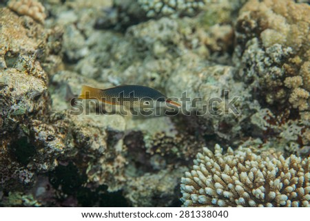 Bird wrasse - gomphosus caeruleus female swiminng in red sea near corals