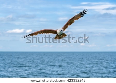 Bird, Young  kite, Red-backed sea-eagle at the nature of southern Thailand. - stock photo