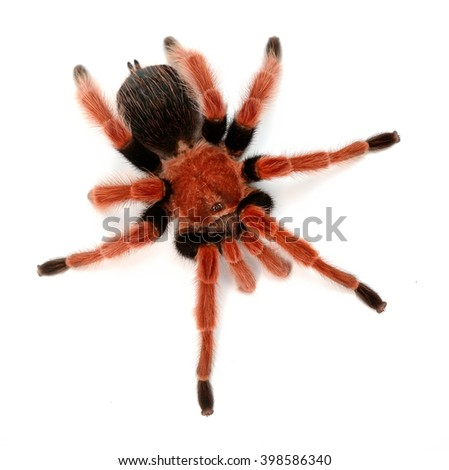 Birdeater tarantula spider Brachypelma boehmei isolated over white. Bright red colourful giant arachnid. - stock photo
