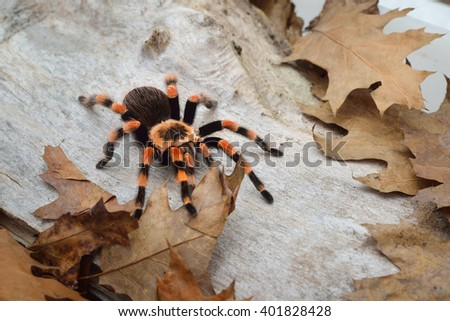 Birdeater tarantula spider Brachypelma smithi in natural forest environment. Bright orange colourful giant arachnid. - stock photo