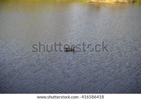 Birds. Amazing mallard duck swims alone in lake with blue water under sunlight. Duck bird swim in water. Beautiful water waves in windy day. Duck bird under sunlight. duck in the park.  - stock photo