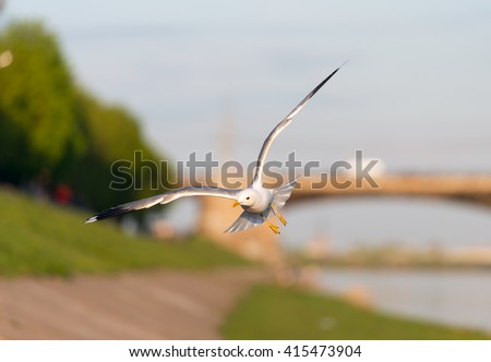 Birds and animals in wildlife. Closeup view of flying white gull with spread nice wings in city 's park under sunlight landscape and blurred blue water, sky, green trees as a background.  - stock photo