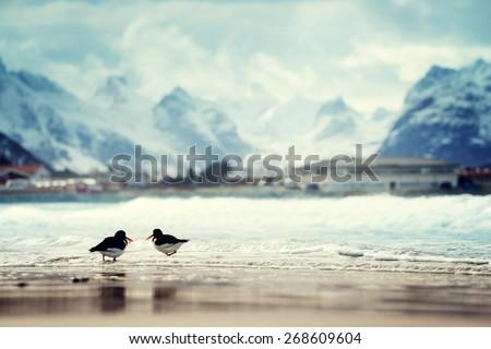 birds and mountain peak on Lofoten beach in spring season, Norway - stock photo