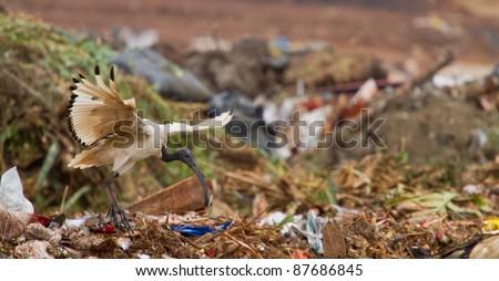 birds at landfill - stock photo