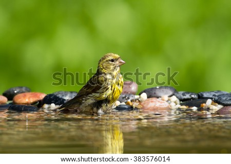 Birds - bathing Serin (Serinus serinus)