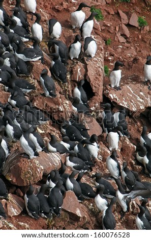 Birds colony on West seashore of Iceland.
