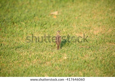 Birds Common Name : Paddyfield Pipit