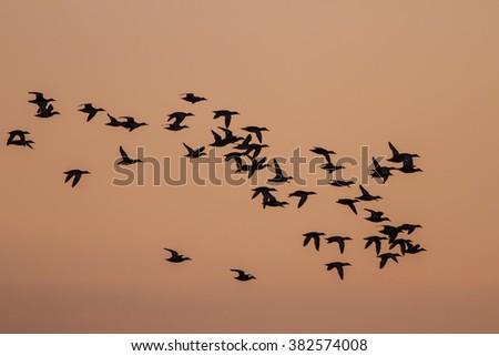 Birds flying silhouette ducks flying on sunset background - stock photo