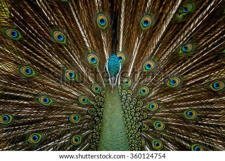 Birds,Green peafowl, Pavo muticus (Pavo cristatus)  - stock photo