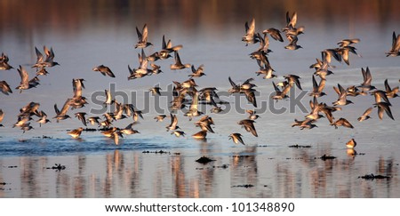 Birds in first light at the Inland Sea isle of Anglesey North wales