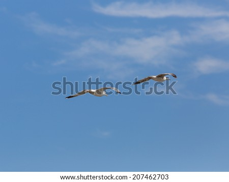 Birds In Flight. Sea birds seagulls (Larus Argentatus)