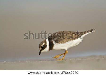 Birds - juvenile Common Ringed Plover (Charadrius hiaticula) - stock photo