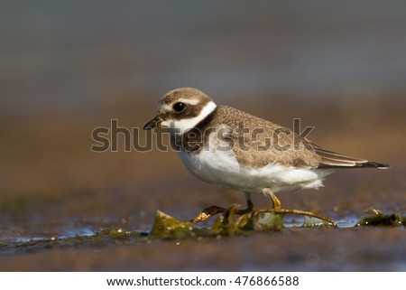 Birds - juvenile Common Ringed Plover (Charadrius hiaticula), small wader