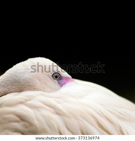 Birds: lesser flamingo, traditional close-up portrait on dark background - stock photo