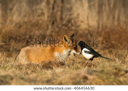 Birds - Magpie (Pica pica) with Fox on background - stock photo