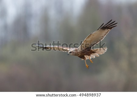 Birds - Marsh Harrier in flight (Circus aeruginosus)