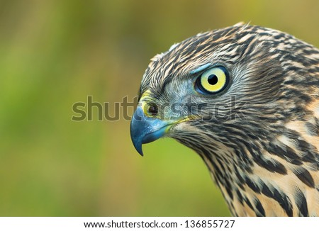 Birds of Europe - Northern Goshawk (Accipiter gentilis).