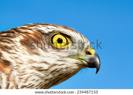 Birds of Europe - Sparrow-hawk (Accipiter nisus) against blue sky