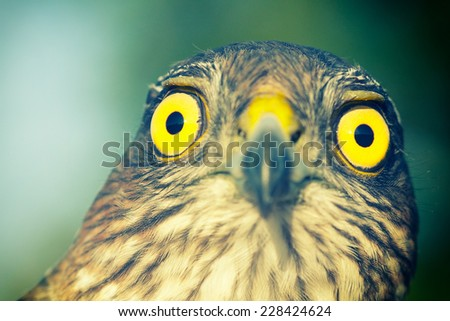 Birds of Europe - Sparrow-hawk (Accipiter nisus), cross-processing effect - stock photo