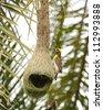 Birds of India, Baya weaver - stock photo