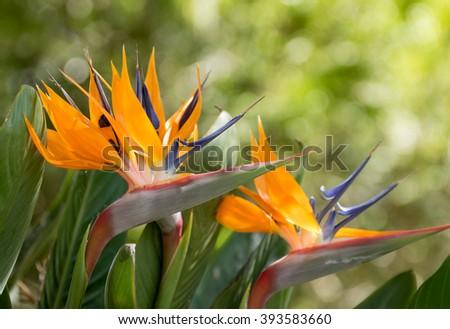 Birds of paradise flowers - stock photo