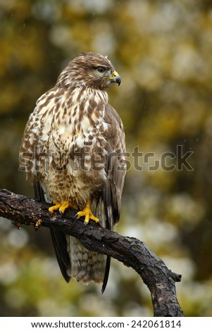 Birds of pray Common Buzzard, Buteo buteo, sitting on the branch with blurred autumn yellow forest in background  - stock photo
