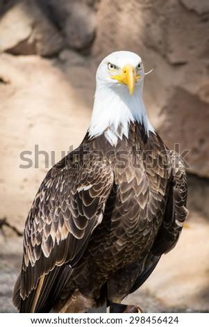 Birds of Prey - Bald Eagle - stock photo