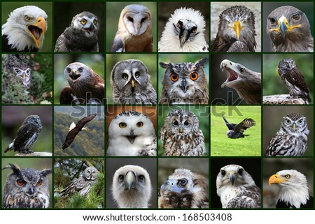 Birds of prey, Collage - stock photo