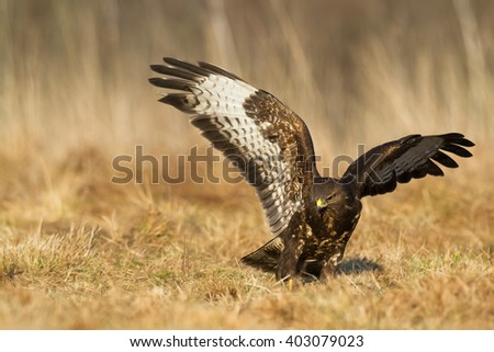 Birds of prey - flying Common Buzzard (Buteo buteo). Autumn ton the meadow. Hunting time, searching something to eat.