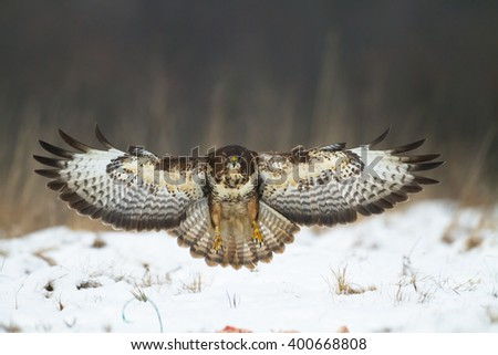 Birds of prey - flying Common Buzzard (Buteo buteo). Winter time, blizzard. Hunting time, searching something to eat. - stock photo