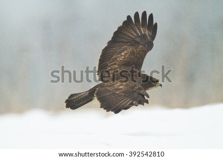 Birds of prey - flying Common Buzzard (Buteo buteo). Winter time, snowstorm. Hunting time, searching something to eat.