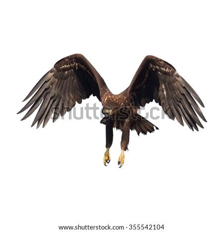 Birds of prey - flying White-tailed Eagle (Haliaeetus albicilla) isolated on white background - stock photo
