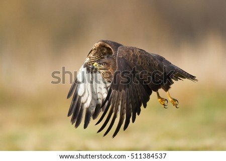 Birds of prey - landing Common Buzzard (Buteo buteo), autumn. Hunting time, searching something to eat.