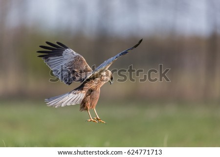 Birds of prey - Marsh Harrier (Circus aeruginosus)