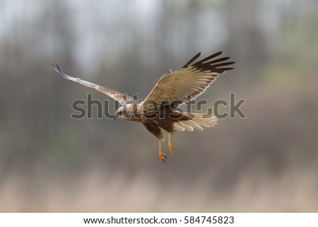 Birds of prey - Marsh Harrier (Circus aeruginosus), landing,