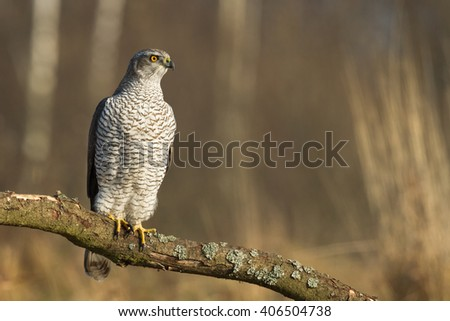 Birds of prey - Northern Goshawk (Accipiter gentilis) on a branch - stock photo