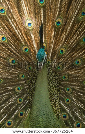 Birds, Peacock,Green peafowl, Pavo muticus (Pavo cristatus)  - stock photo
